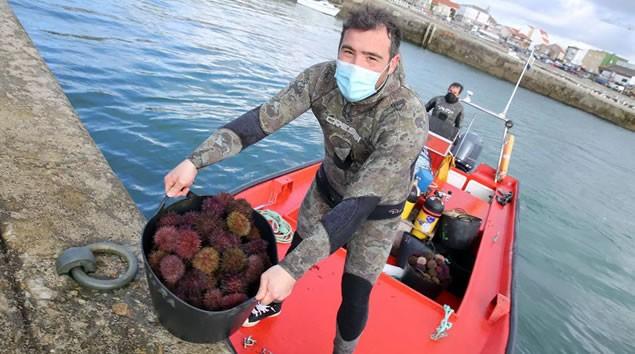 El erizo de mar, un bocado que supera los cien euros el kilo en Barbanza